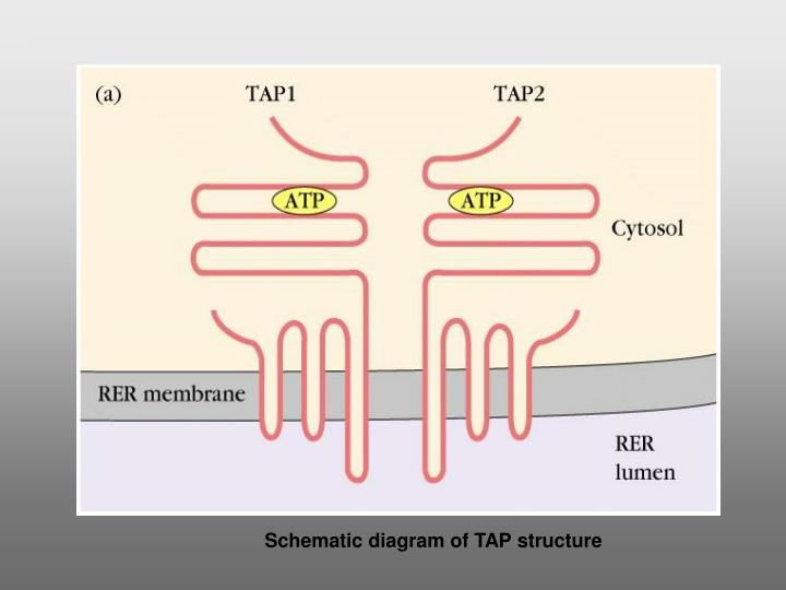 Schematic diagram of TAP structure