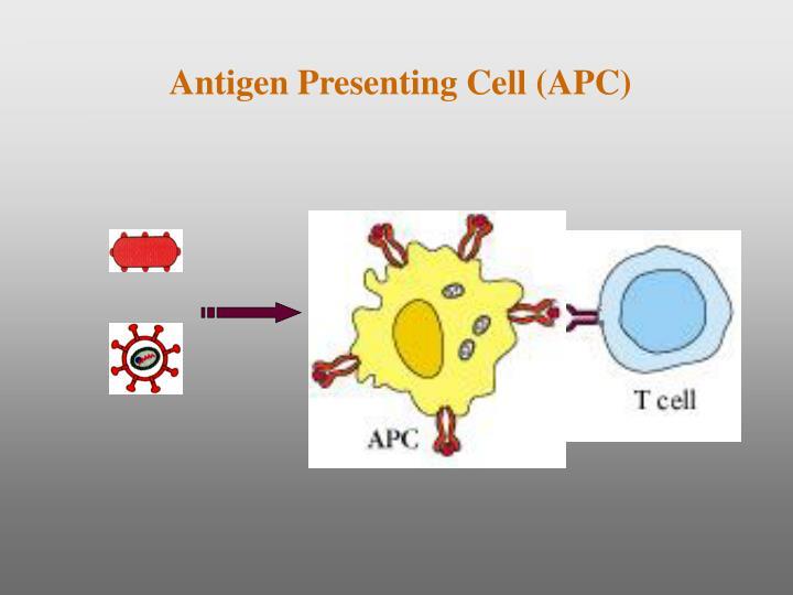 Antigen Presenting Cell (APC)
