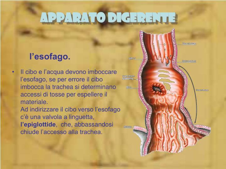 l'esofago.