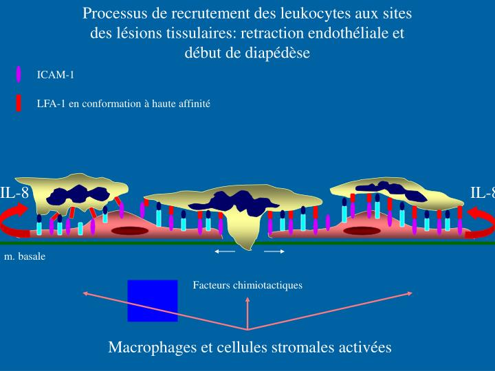 Processus de recrutement des leukocytes aux sites