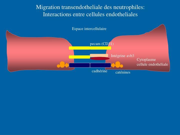 Migration transendotheliale des neutrophiles: