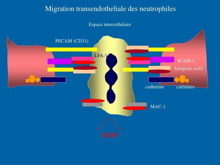 Migration transendotheliale des neutrophiles