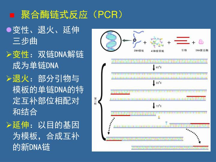 聚合酶链式反应(