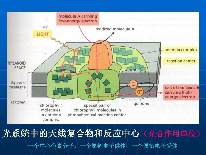 光系统中的天线复合物和反应中心