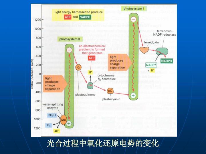 光合过程中氧化还原电势的变化
