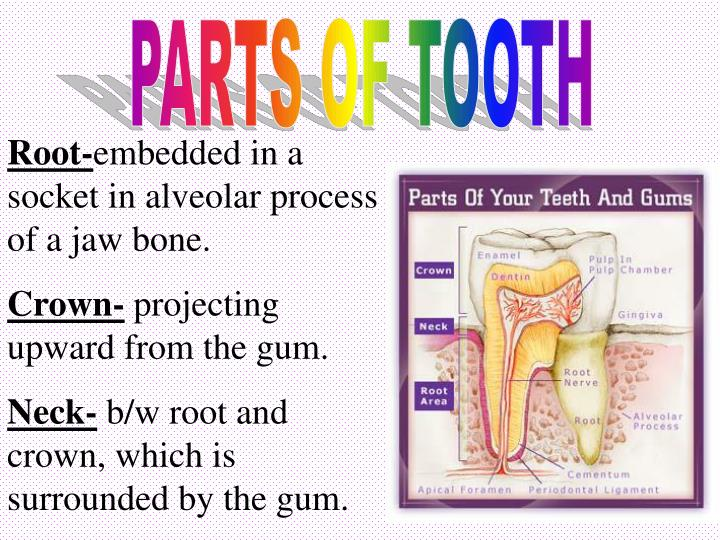 PARTS OF TOOTH