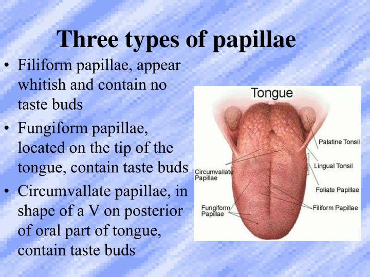 Three types of papillae