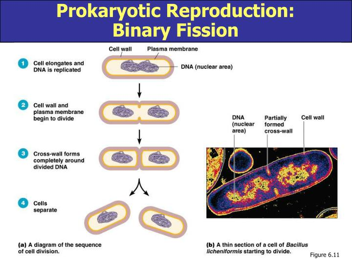 Prokaryotic Reproduction:
