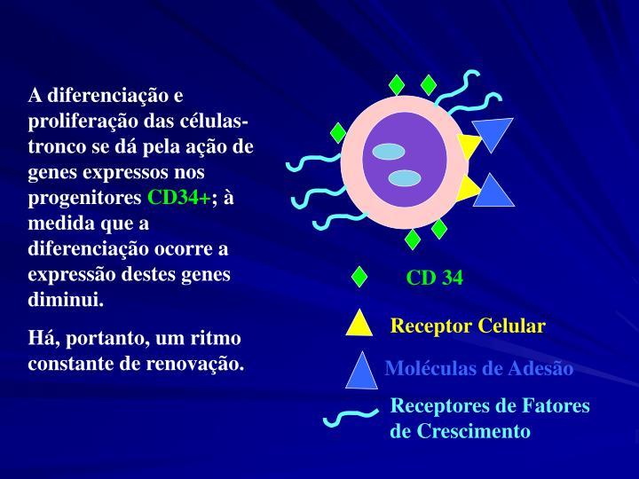 A diferenciação e proliferação das células-tronco se dá pela ação de genes expressos nos progenitores