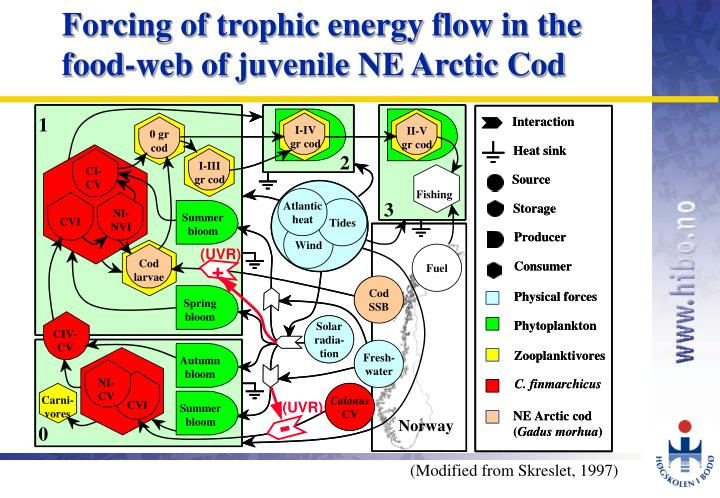 Forcing of trophic energy flow in the food-web of juvenile NE Arctic Cod