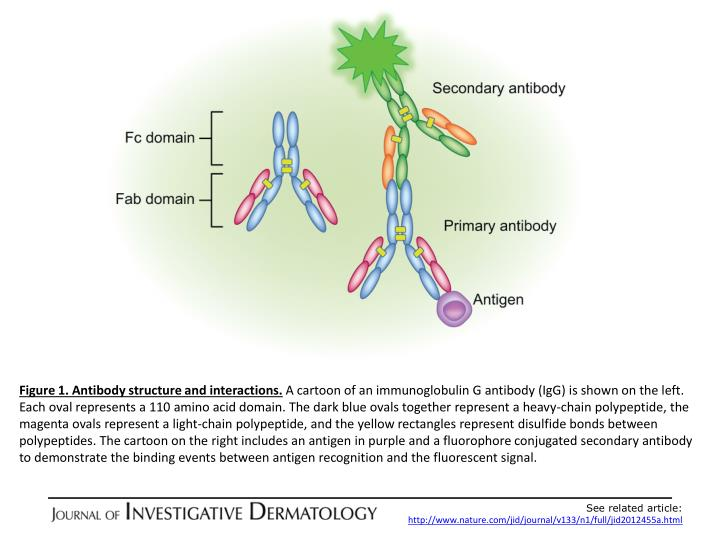 Figure 1. Antibody structure and interactions.