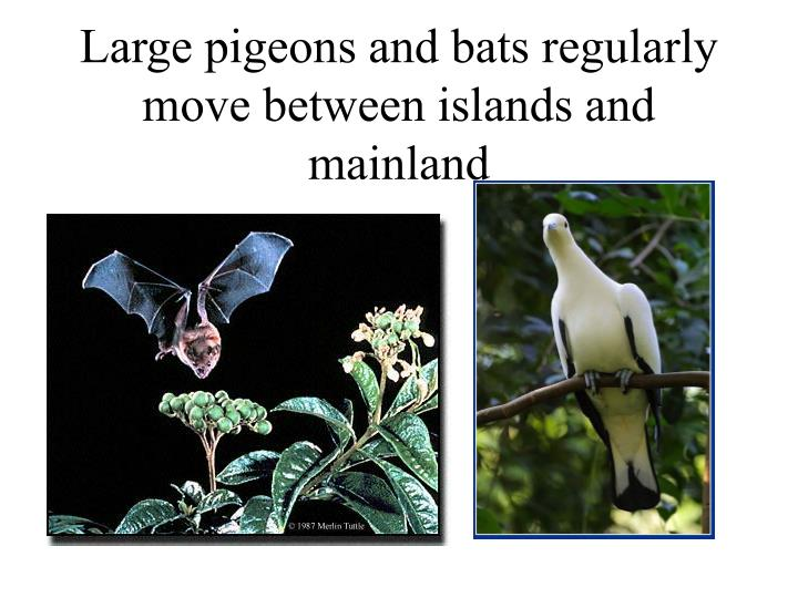 Large pigeons and bats regularly move between islands and mainland