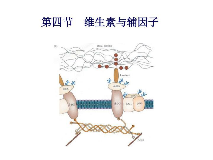 第四节  维生素与辅因子