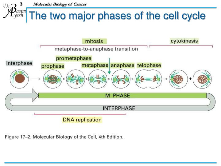 The two major phases of the cell cycle