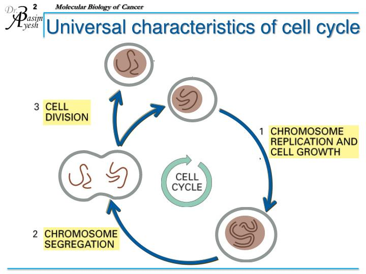 Universal characteristics of cell cycle