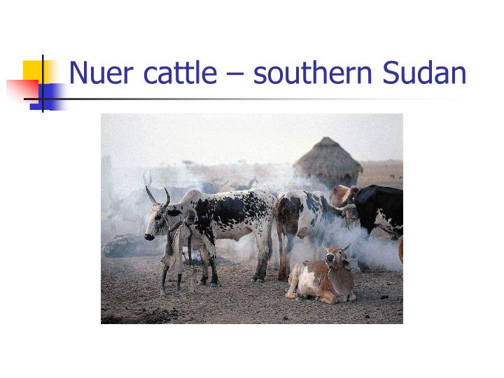 Nuer cattle southern sudan