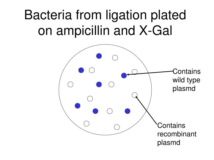 Bacteria from ligation plated