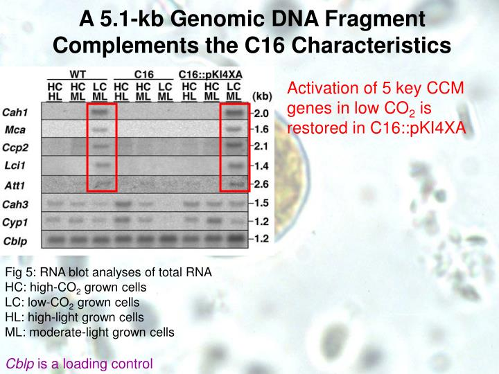 A 5.1-kb Genomic DNA Fragment Complements the C16 Characteristics