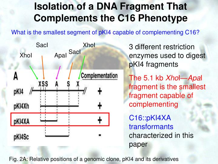 Isolation of a DNA Fragment That