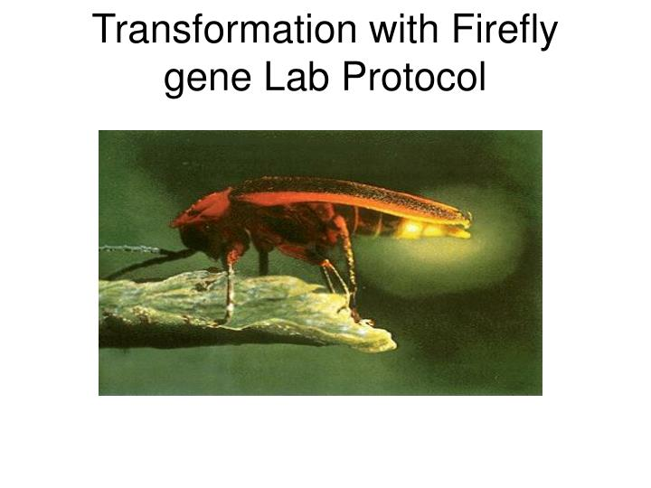 Transformation with firefly gene lab protocol