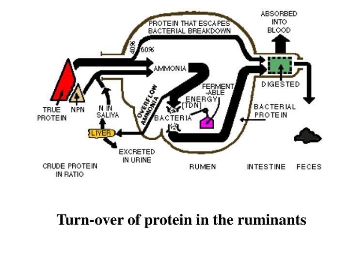 Turn-over of protein in the ruminants