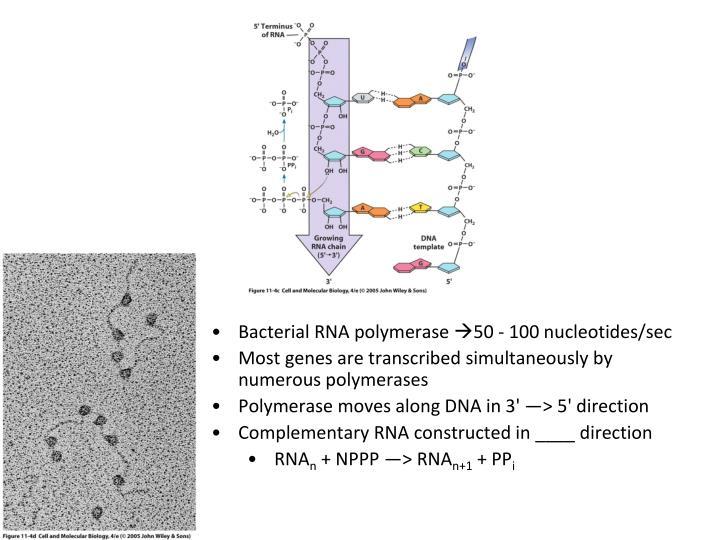 Bacterial RNA polymerase