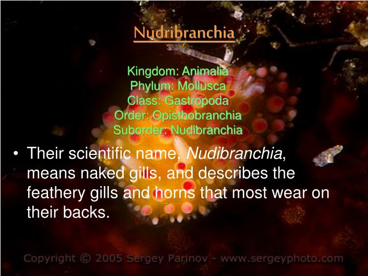 Nudribranchia