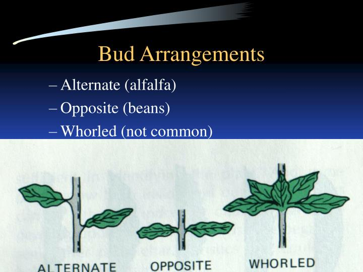 Bud Arrangements