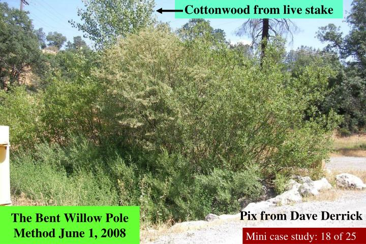 Cottonwood from live stake