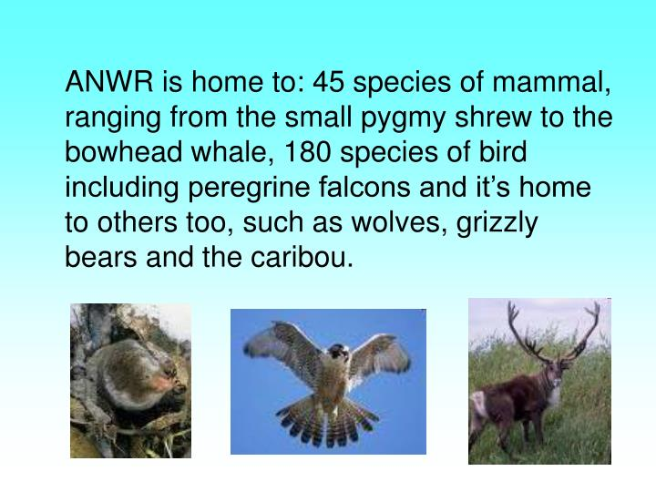 ANWR is home to: 45 species of mammal, ranging from the small pygmy shrew to the bowhead whale, 180 species of bird including peregrine falcons and it's home to others too, such as wolves, grizzly bears and the caribou.