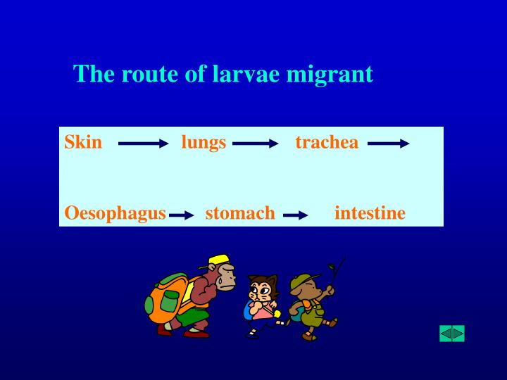 The route of larvae migrant