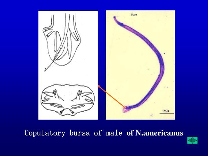 Copulatory bursa of male