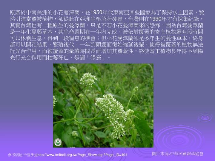 原產於中南美洲的小花蔓澤蘭,在