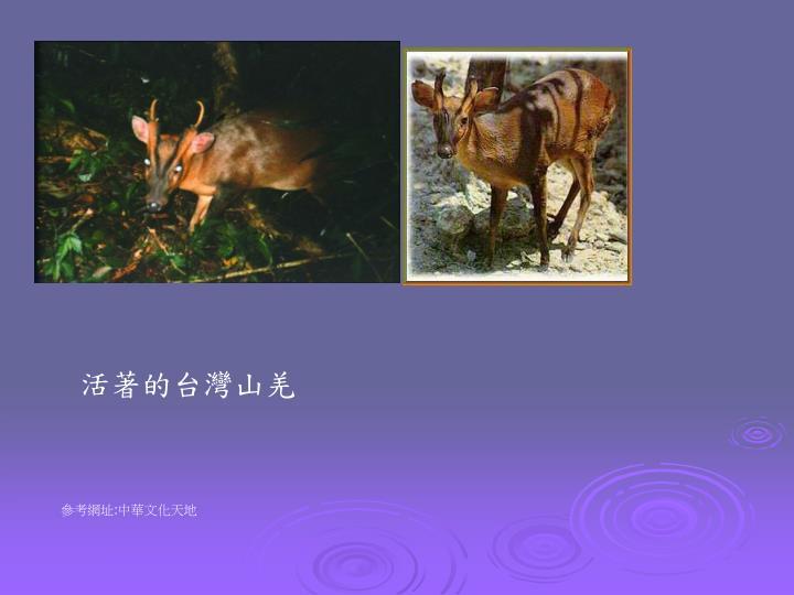 活著的台灣山羌