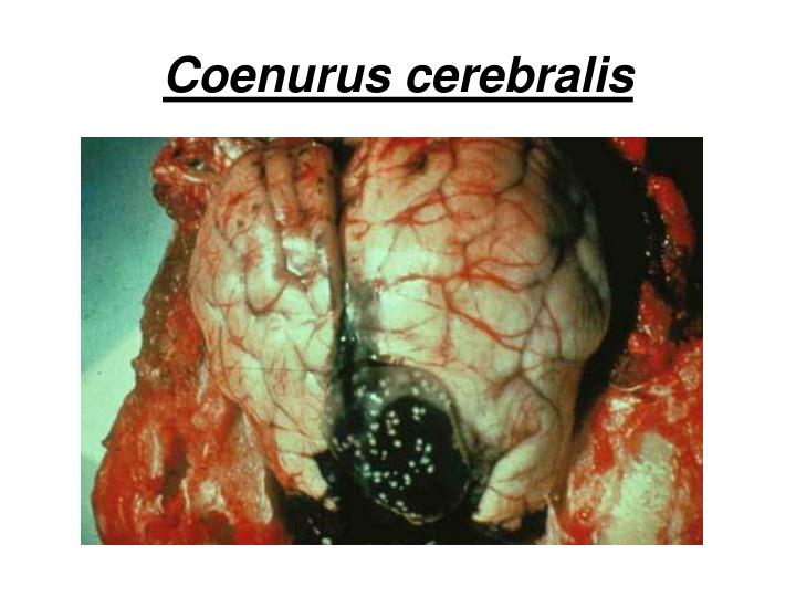 Coenurus cerebralis