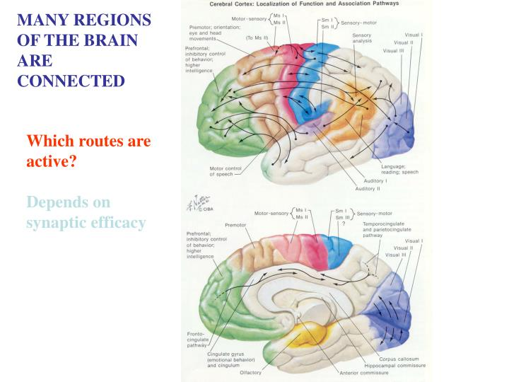 MANY REGIONS OF THE BRAIN ARE CONNECTED