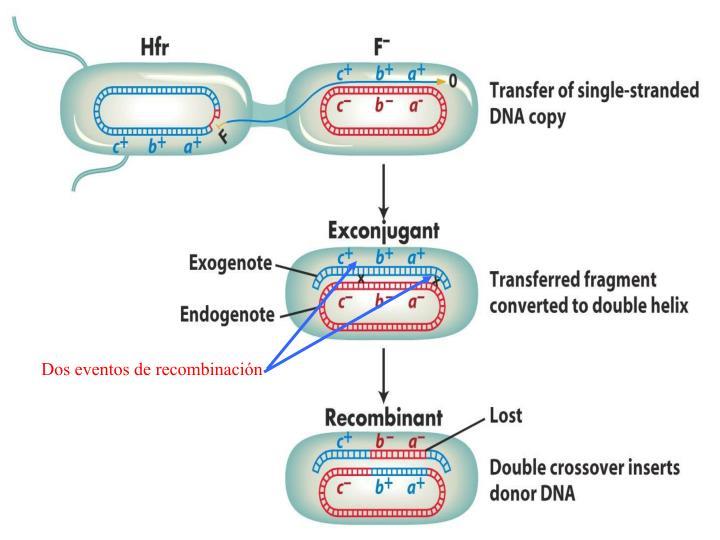 Dos eventos de recombinación