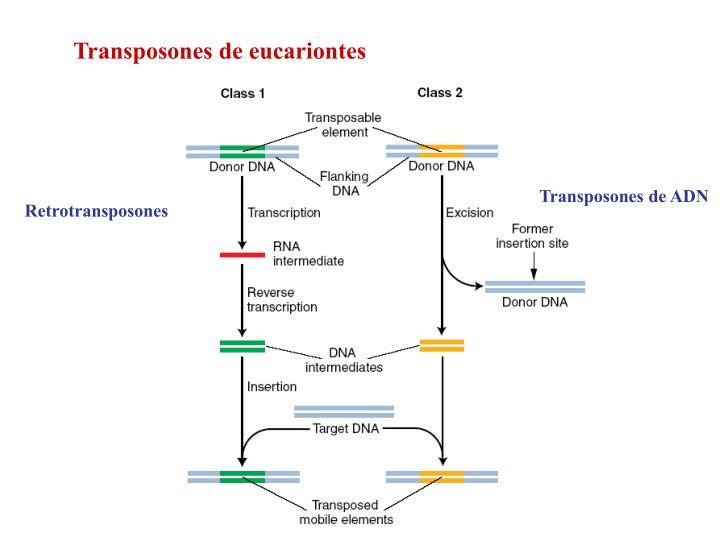 Transposones de eucariontes