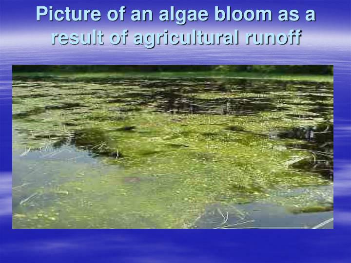 Picture of an algae bloom as a result of agricultural runoff