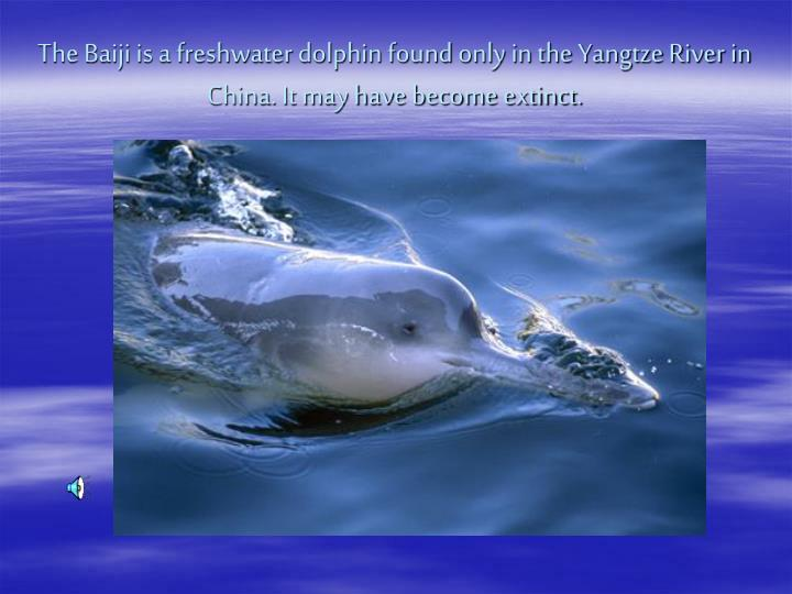 The Baiji is a freshwater dolphin found only in the Yangtze River in China. It may have become extinct.