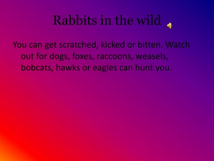 Rabbits in the wild