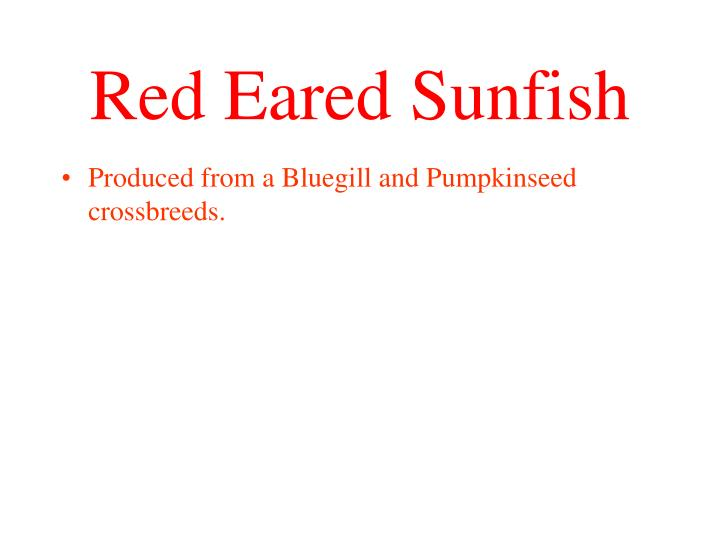 Produced from a Bluegill and Pumpkinseed crossbreeds.