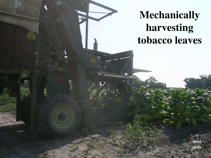 Mechanically harvesting tobacco leaves