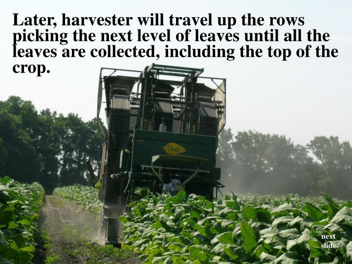 Later, harvester will travel up the rows picking the next level of leaves until all the leaves are collected, including the top of the crop.
