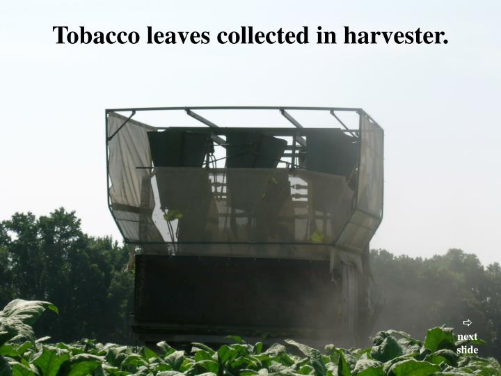 Tobacco leaves collected in harvester.