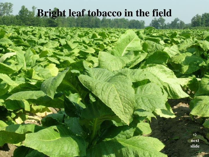 Bright leaf tobacco in the field