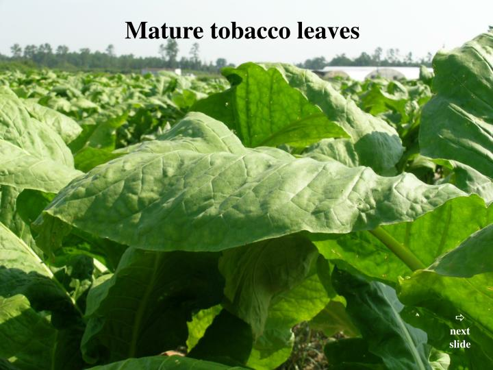 Mature tobacco