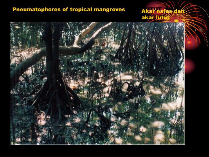 Pneumatophores of tropical mangroves