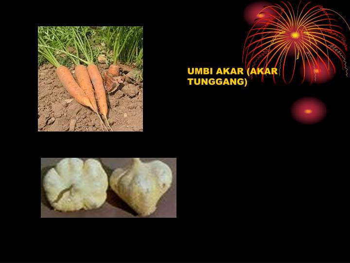 UMBI AKAR (AKAR TUNGGANG)