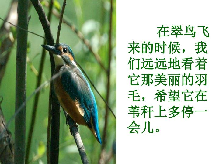 在翠鸟飞来的时候,我们远远地看着它那美丽的羽毛,希望它在苇秆上多停一会儿。
